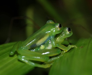 Costa Rican Glass Frog Census